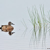 blue-winged teal drake, crex meadows, wisconsin