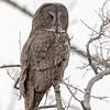 great grey owl, sax zim bog, minnesota