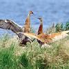 sandhill cranes sparring, crex meadows, wisconsin