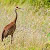 sandhill crane, crex meadows, wisconsin