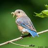 eastern bluebird female with grub, wisconsin