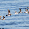 ruddy turnstones and sandpipers in flight