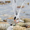 arctic tern & juvenile