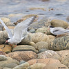 arctic tern with fish & hungry juvenile