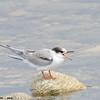 arctic tern juvenile