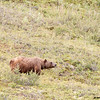 grizzly sow, denali