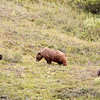 grizzly sow & two cubs, denali