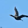 double-crested cormorant, prince wiliiam sound, alaska