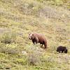 grizzly sow & cub, denali