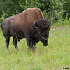 american bison in wildflowers