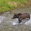 grizzly cub chasing salmon