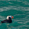 tufted puffin