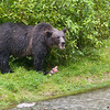 grizzly sow with salmon