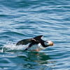 horned puffin takeoff, prince william sound, alaska