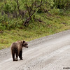 grizzly bear on denali road