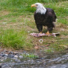 bald eagle with salmon