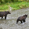 grizzly bear sow and cub, fish creek, hyder, alaska