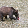 gizzly cub eating salmon