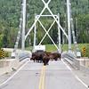 bison on the liard river bridge, bc