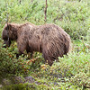 grizzly in brush, denali