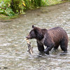 grizzly cub with salmon