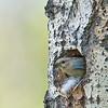 mountain bluebird female in nest