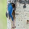 mountain bluebird male at nest