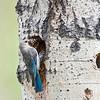 mountain bluebird female at nest