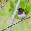 dark-eyed junco oregon