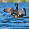 common loon wingflap