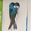 tree swallows on nestbox