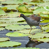 common moorhen walking over lily pads, savannah nwr, georgia