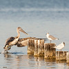 brown pelican flying up to piling perch, pensacola, florida