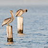 brown pelican, pensacola, florida