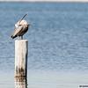 brown pelican and pouch, pensacola, florida