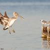brown pelican in flight, pensacola, florida