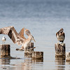 brown pelicans & laughing gulls, pensacola, florida
