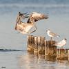 brown pelican landing, pensacola, florida