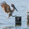 brown pelican landing on piling, pensacola, florida