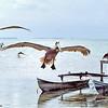 brown pelicans landing, florida keys wildlife rehab center,  key largo