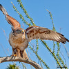 ferruginous hawk, tucson, arizona (c)