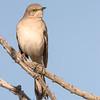 northern mockingbird, tucson, arizona