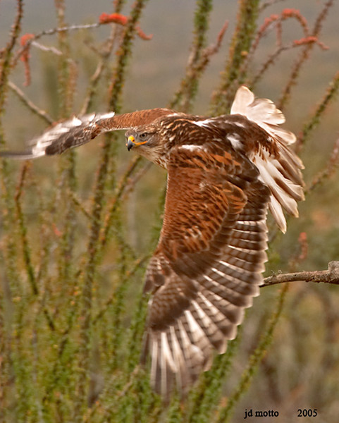 ferruginous hawk in flight. tucson, arizona (c)