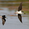 black-necked stilts in flight, gilbert, arizona