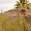 great horned owl landing, tucson arizona (c)