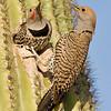 gilded flicker pair in saguaro nest, horse-lovers ranch, phoenix, arizona