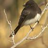 black phoebe, tucson, arizona