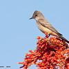 ash-throated flycatcher, horse-lovers ranch, phoenix, arizona