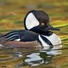 hooded merganser drake, phoenix, arizona