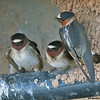 cliff swallows, gilbert, arizona